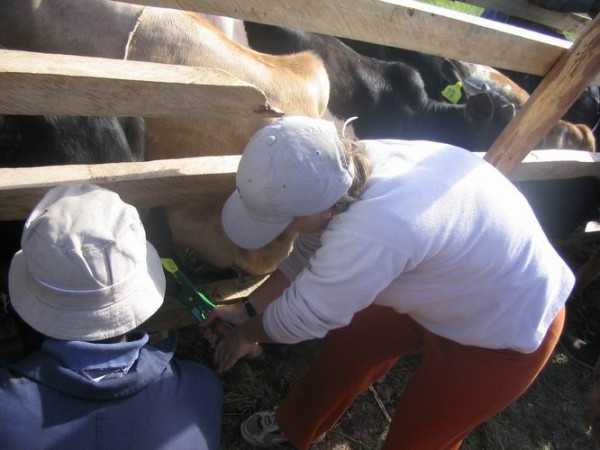 Testing cattle for sleeping sickness